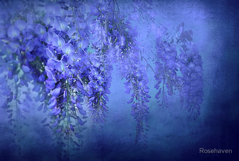 """""""In Love with WIsteria..."""" by Rosehaven"""
