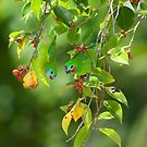 Double-Eyed Fig Parrots by ElRobbo