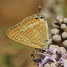Long-Tailed Blue by Robert Abraham