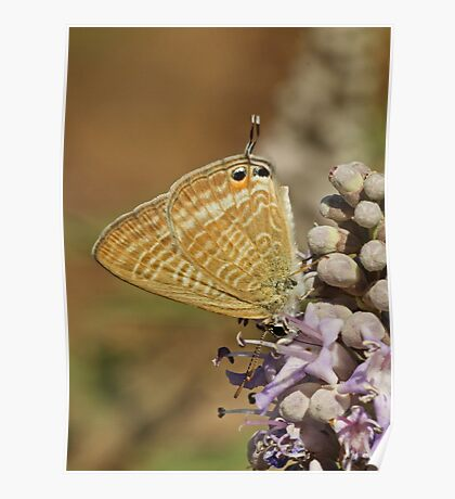 Long-Tailed Blue Poster