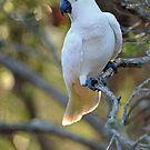 Sulphur Crested Cockatoo. Cedar Creek, Qld, Australia.  by Ralph de Zilva