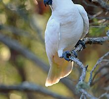 Sulphur Crested Cockatoo. Cedar Creek, Qld, Australia.  by Ralph de Zilva