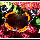 Vanessa atalanta ~ Red Admiral by The Creative Minds