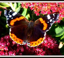 Vanessa atalanta ~ Red Admiral by ©The Creative  Minds