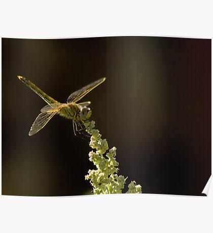 Sunshine on a landed Dragonfly. Poster