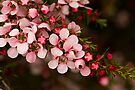Tea Tree (Leptospermum) by Elaine Teague