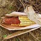 Autumn Corn by Linda Miller Gesualdo