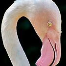 Greater Flamingo by Linda Sparks