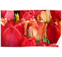 Tulips bursting with red Poster