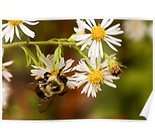 Bumble and the Bushy Aster Poster