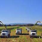 Corn harvest in Oregon by pdsfotoart