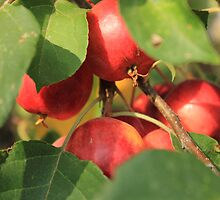 Crabapple tree by Jim Sauchyn