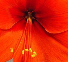Amaryllis  by Penny Rinker