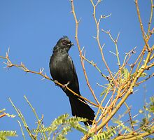 Phainopepla ~ Male by Kimberly Chadwick
