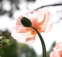 Pretty Peach Poppy by Tiffany Muff