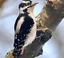 Downy Woodpecker by Carl Olsen