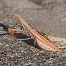 Praying mantis by David Clarke