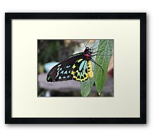 Colorful Butterfly on Leaf  Framed Print