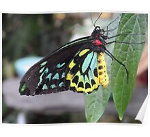 Colorful Butterfly on Leaf  Poster