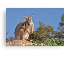 Yellow-footed Rock-wallaby Canvas Print