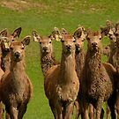 All Eyes Forward!! - Deer - NZ by AndreaEL