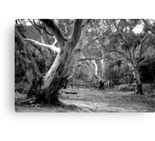 River Red Gums. Canvas Print