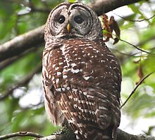 Barred Owl by Carl Olsen