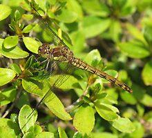 Dragonfly hiding by IanWeston