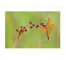 Eastern Amber Wing Dragonfly Art Print