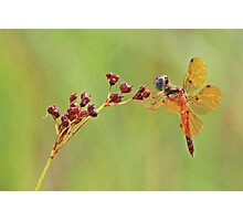 Eastern Amber Wing Dragonfly Photographic Print