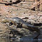 Crocodile, Ord River, Kimberley, Western Australia by Margaret  Hyde