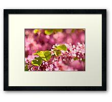 Judas Tree Flower And Leaves Framed Print