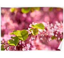 Judas Tree Flower And Leaves Poster