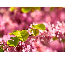 Judas Tree Flower And Leaves Photographic Print
