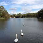 swans by Leeanne Middleton