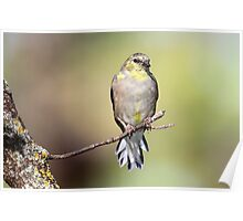 Autumn's Desaturation Of The American Goldfinch Poster