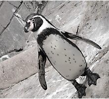 typical penguin Photographic Print