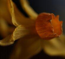 Macro daffodil by Floydwilson