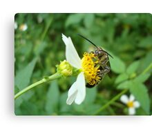 FLOWER WASP IN SPANISH NEEDLES Canvas Print