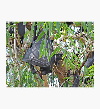 Black Flying Fox, Ord River, Western Australia Photographic Print
