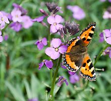 Butterfly by evisonphoto