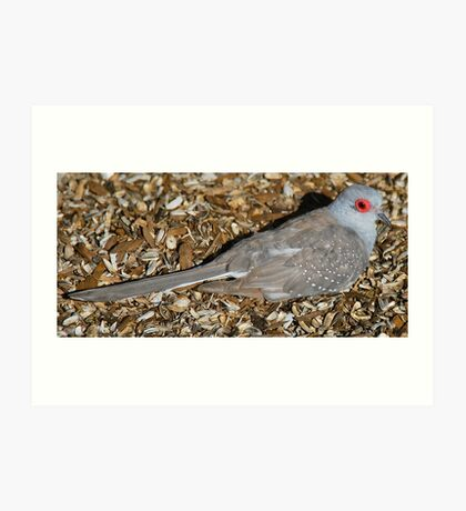 Diamond Dove resting Art Print
