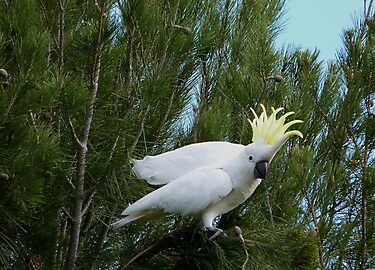 'YOU MADE ME DROP IT!'  Sulpher Crested Cockatoo, Adelaide Hills. by Rita Blom