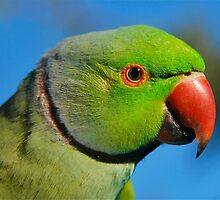 Green Ringneck Parrot Profile by Penny Smith