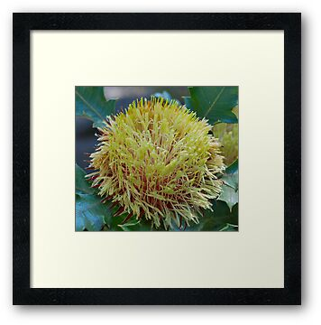 Banksia Heliantha by Penny Smith