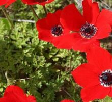 Red Wild Anemone Flowers  Sticker