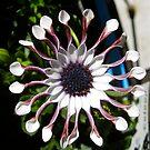 Osteospermum Flower by Penny Smith