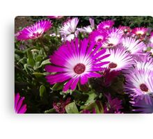 Pink And White Gazania Flowers Canvas Print