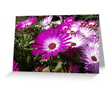 Pink And White Gazania Flowers Greeting Card