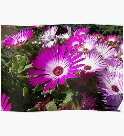 Pink And White Gazania Flowers Poster